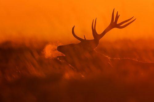 Backlit Red Deer Stag