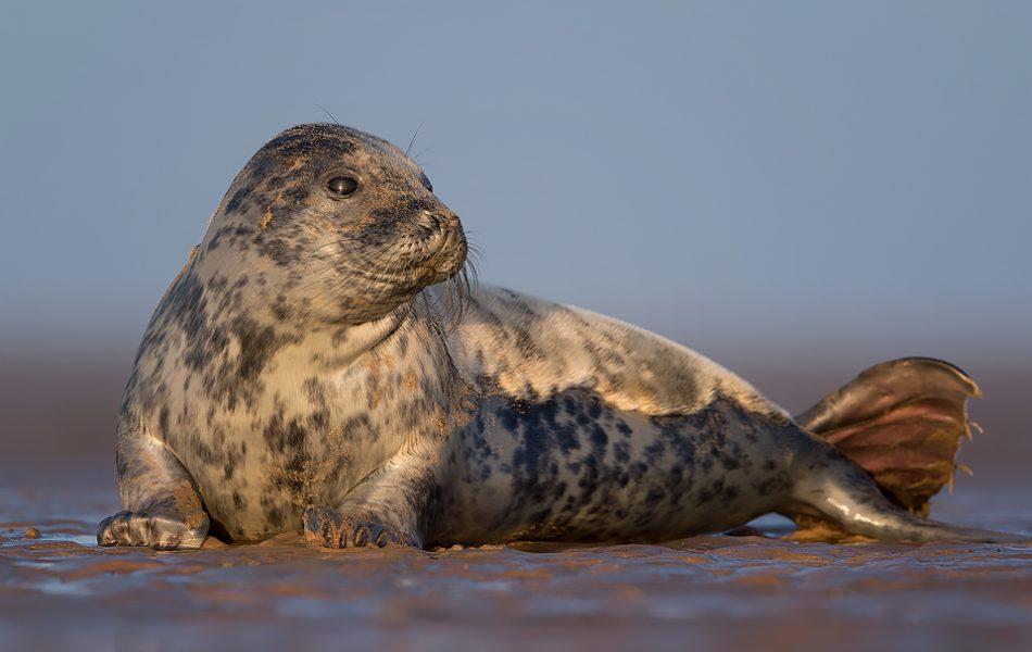 Grey Seal Mermaid - British Wildlife photography