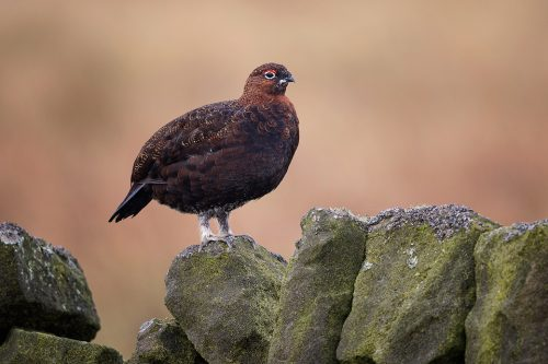 Red Grouse on a Drystone Wall