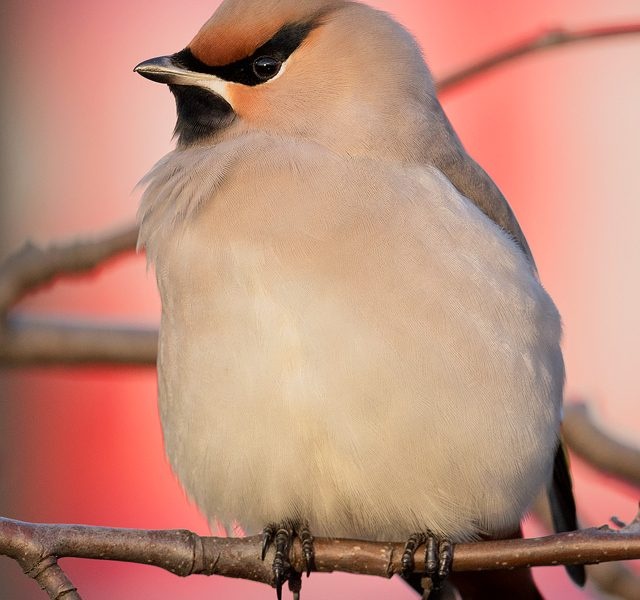Waxwing - Peak District Wildlife Photography