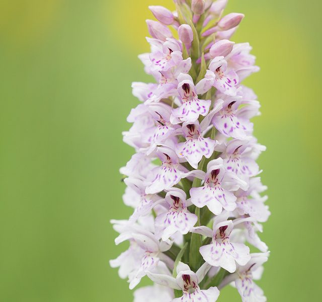 Common Spotted Orchid - Peak District Photography