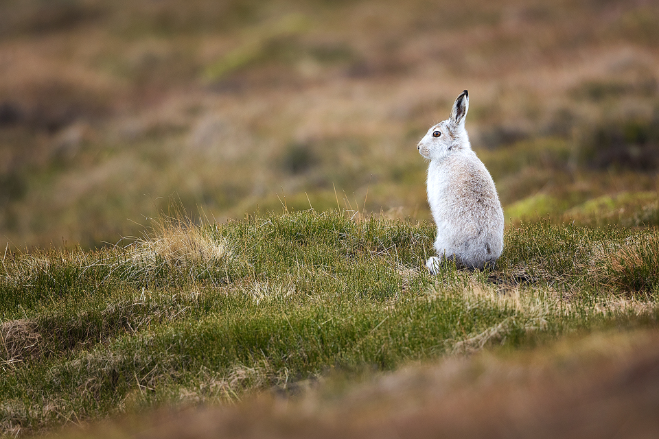 Mountain Hare Environment - Mountain Hare Photography Workshop