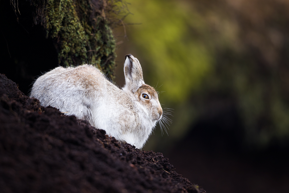 Mountain Hare in Grough - Mountain Hare Photography Workshop