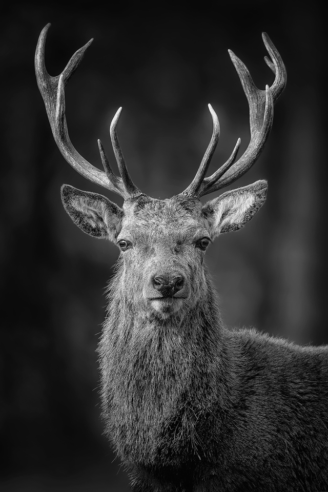 Red Deer photography workshop - Stag Portrait, Deer Rutt