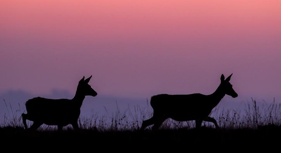 Red Deer photography workshop - Doe Silhouette, Deer Rutt