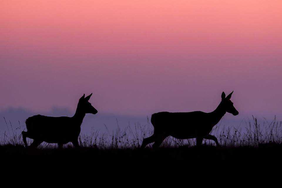 Red Deer photography workshop - Doe Silhouette, Deer Rutt