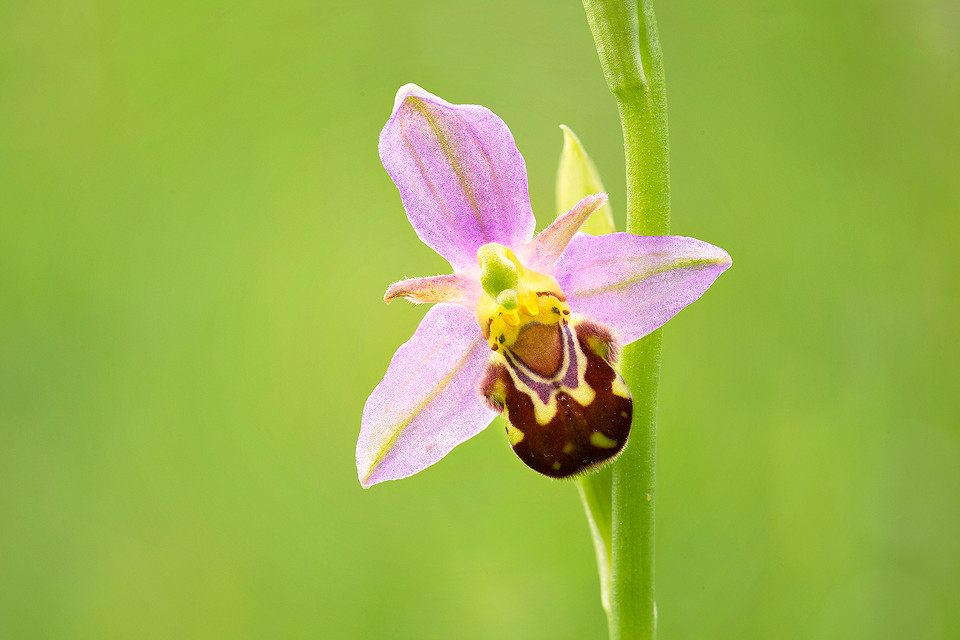 Wildflower Photography Workshop - Bee Orchid