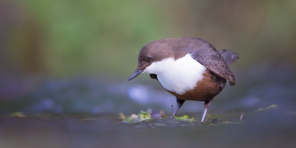 Fishing Dipper - Derbyshire Dipper - Peak District Wildlife Photography