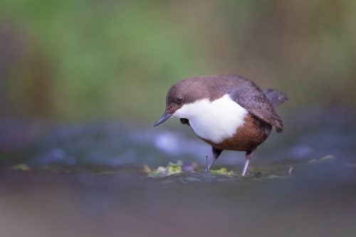 Derbyshire Dipper – Peak District Wildlife Photography