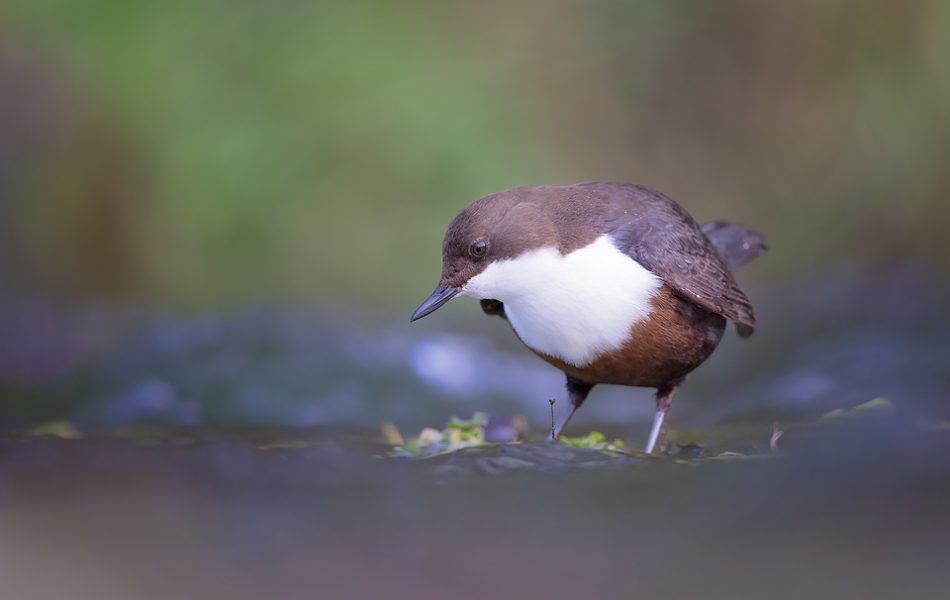 Derbyshire Dipper - Peak District and UK Wildlife Photography