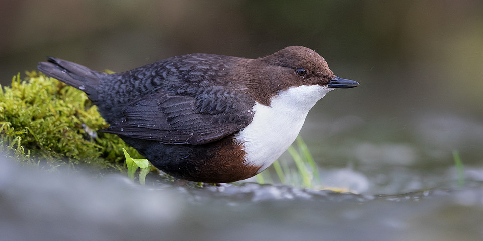 Dipper Photography Workshop - Derbyshire Dales, Peak District