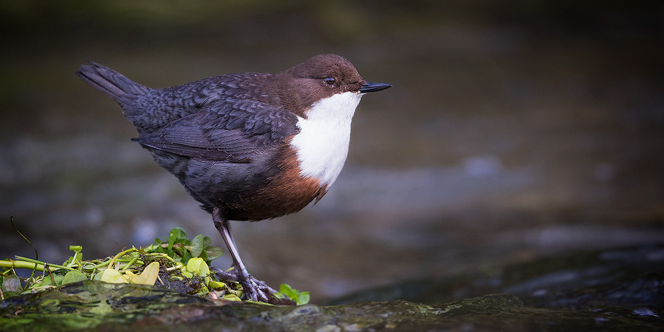 Dipper Photography Workshop - Derbyshire Dales, Peak District, Wildlife Photography.