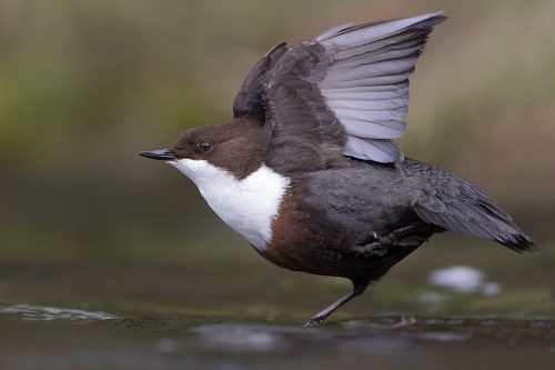 Stretching Dipper – Peak District Wildlife Photography