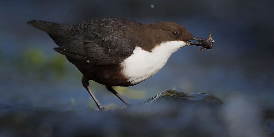 Dipper Photography Workshop - Derbyshire Dales, Peak District, Wildlife Photography