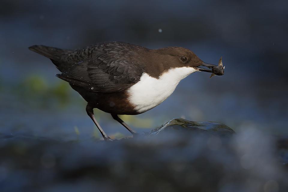 Dipper Photography Workshop - Derbyshire Dales, Peak District, Wildlife Photography