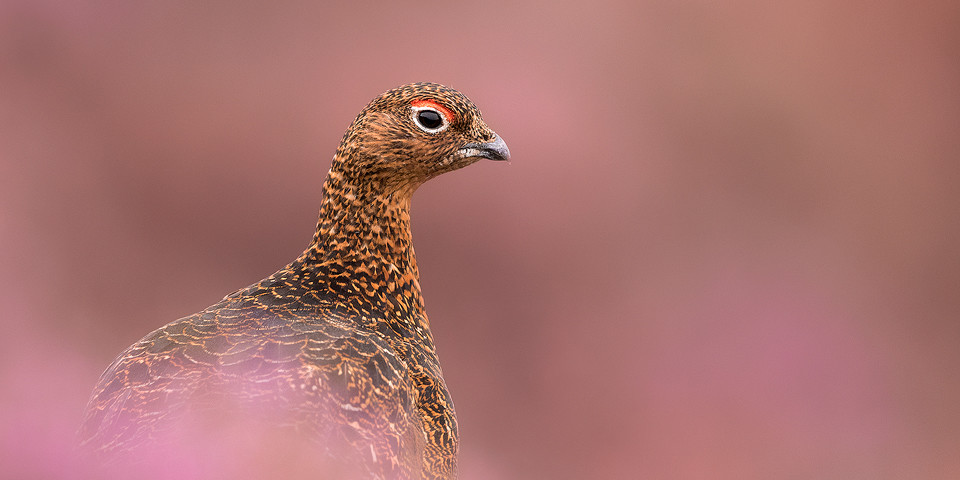 Red Grouse Photography Workshop - Peak District Heather