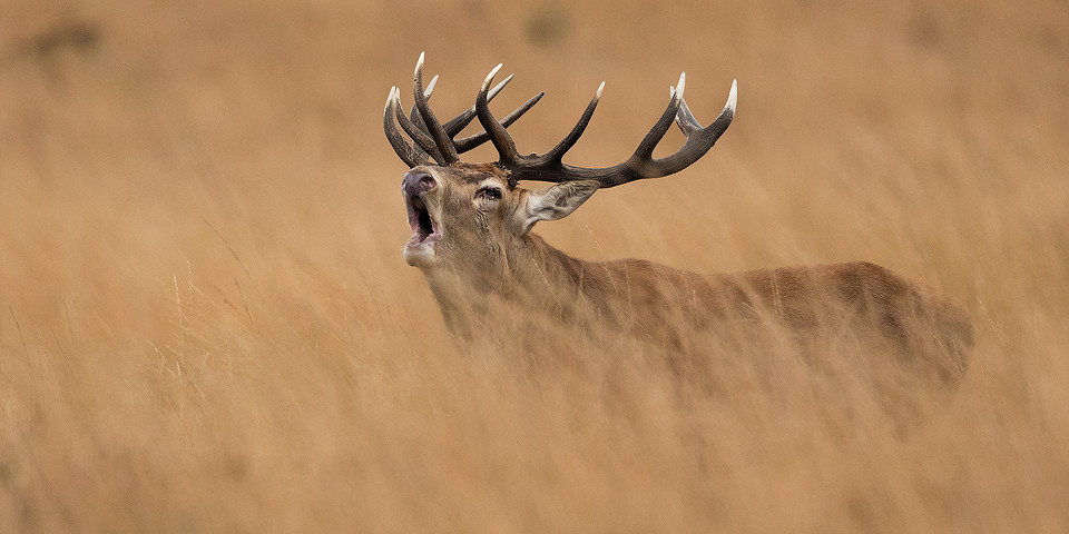 Red Deer photography workshop - Bellowing Stag in grass, Deer Rutt
