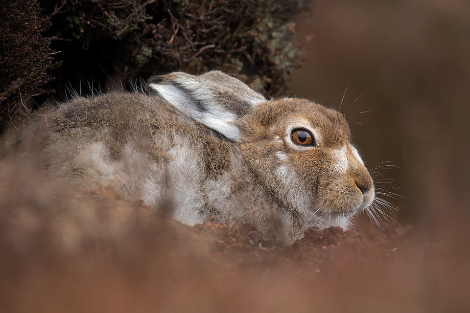 Moulting Mountain Hare - Mountain Hare Photography Workshop