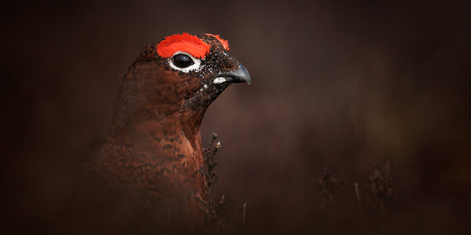 Red Grouse Photography Workshop - Moorland Camouflage