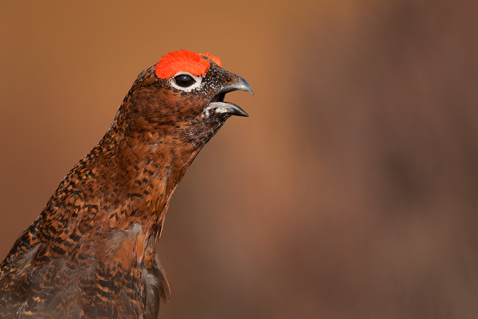 Red Grouse Photography Workshop - Calling Grouse