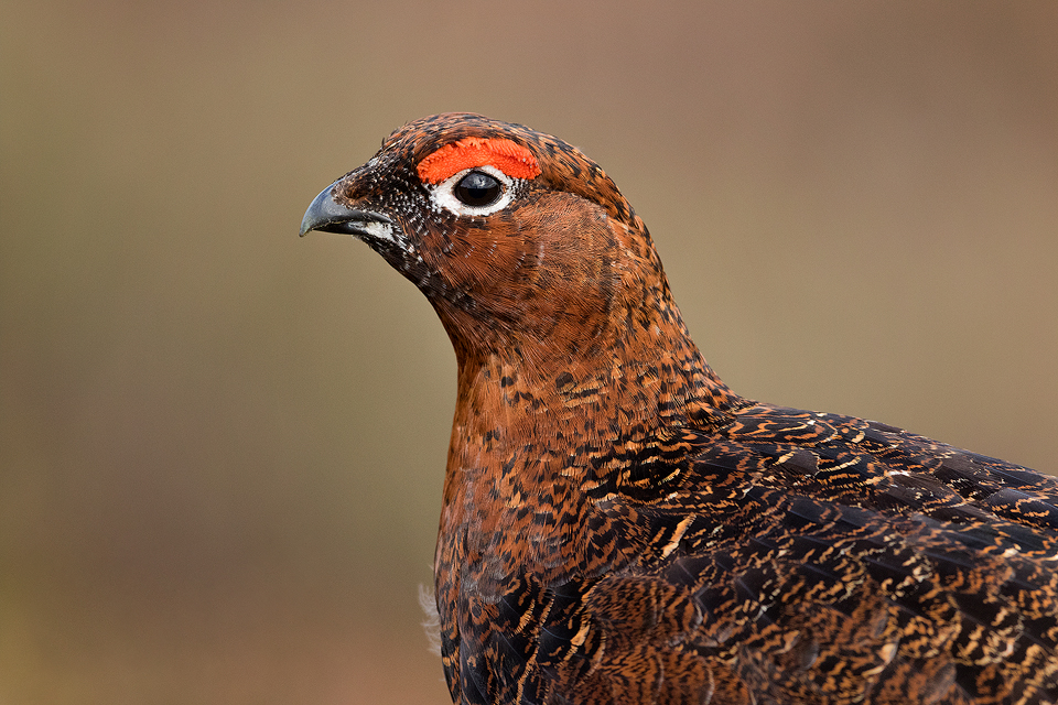 Red Grouse Photography Workshop - Peak District