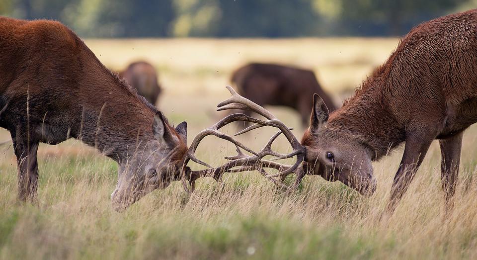 Red Deer photography workshop - Rutting Stags, Deer Rutt