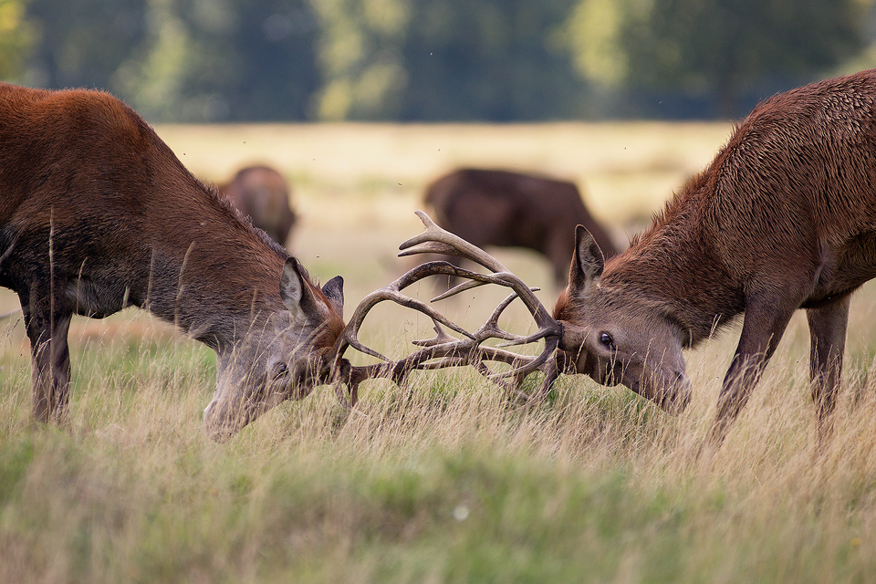 Red Deer photography workshop - Rutting Stags, Deer Rutt