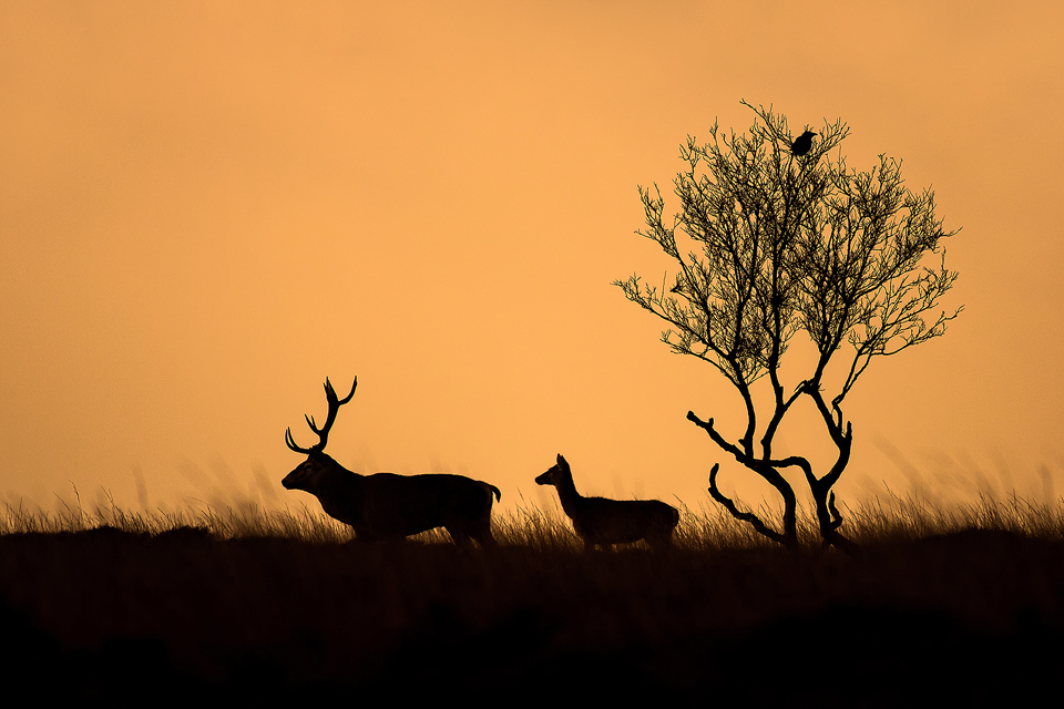 Red Deer photography workshop - Stag, Doe Silhouette Deer Rutt