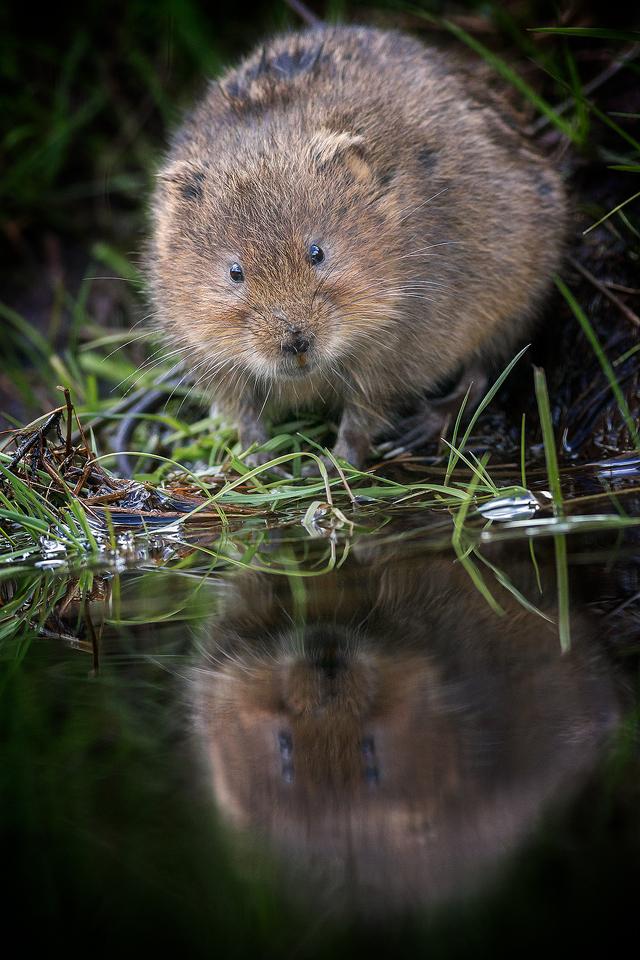 Water Voles – Peak District Wildlife Photography