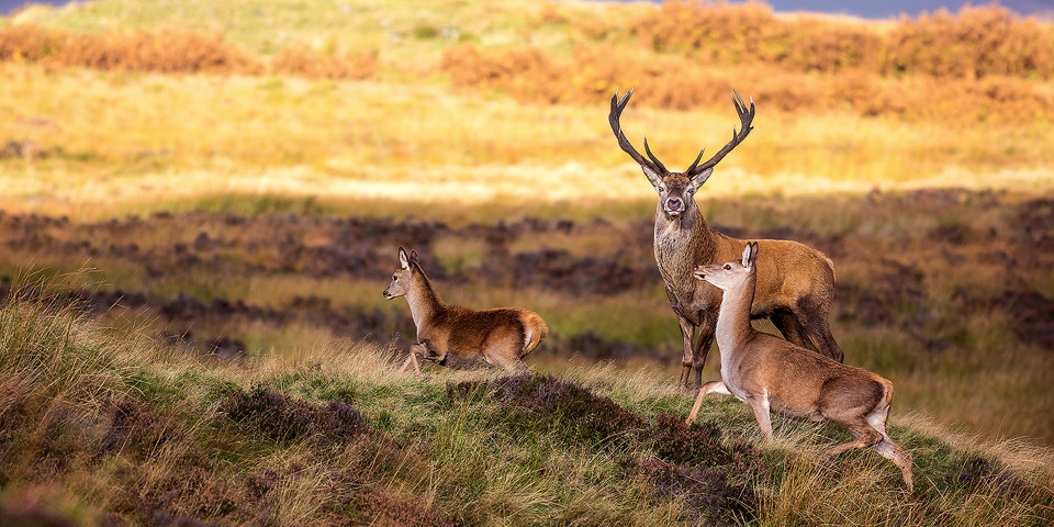 Red Deer photography workshop - Stag, Doe and Fawn - Deer Rutt