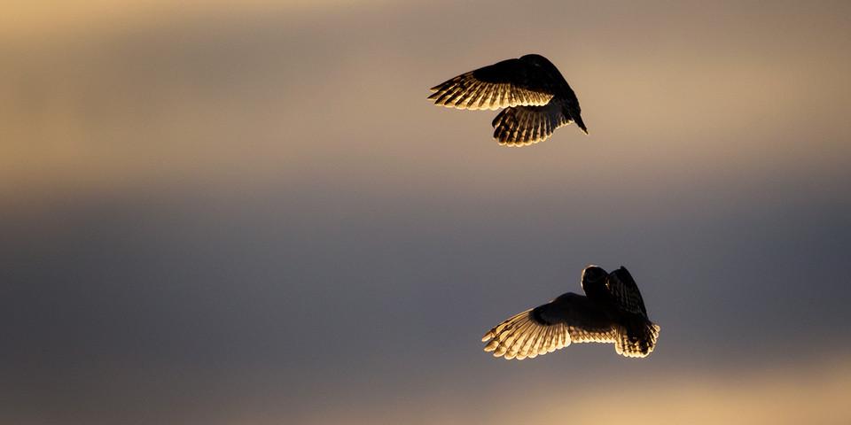 Owl Photography Workshop - Socialising Short-Eared Owls