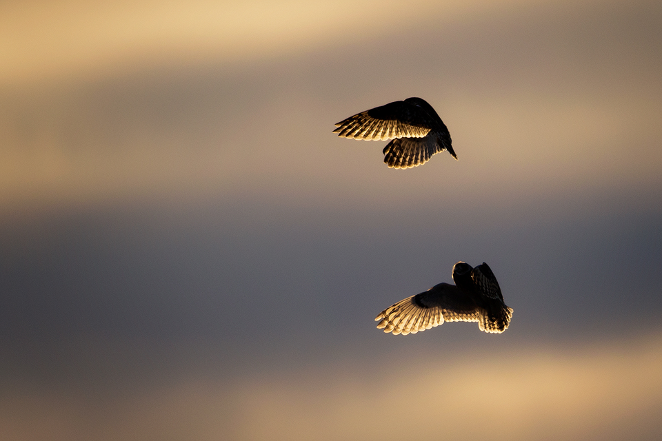 Owl Photography Workshop - Socialising Short-Eared Owls