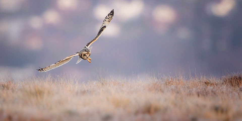 Owl Photography Workshop - Pouncing Short-Eared owl