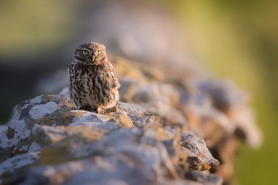 Owl Photography Workshop - Little Owl