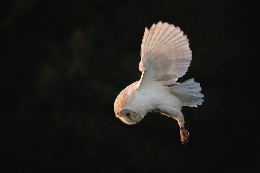 Owl Photography Workshop - Backlit Hovering Barn Owl