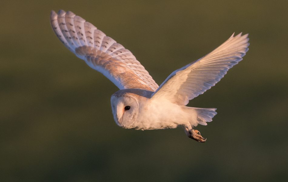 Owl Photography Workshop - Barn Owl In Flight