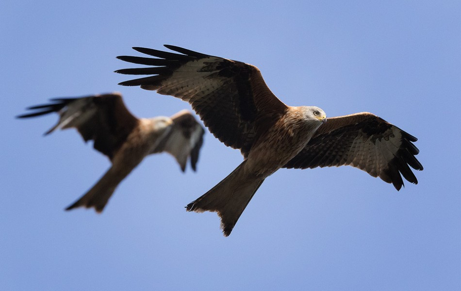 Red Kite Pair in Flight - Yorkshire Red Kites