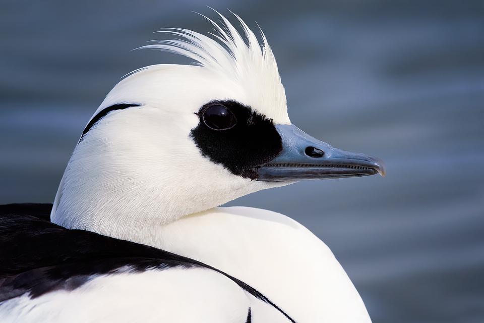 Waterfowl Wildlife Photography Workshop - Smew