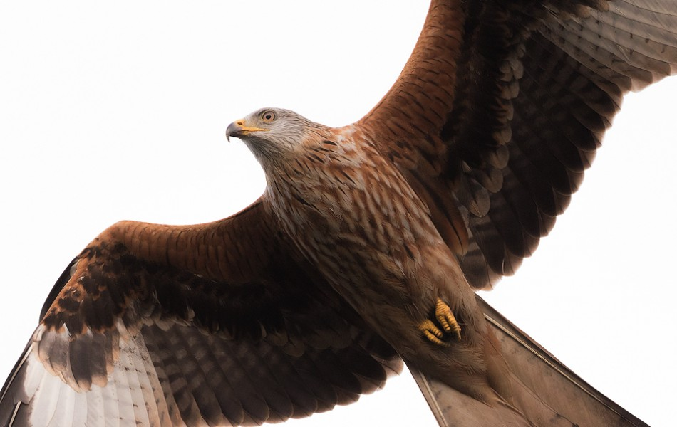 Red Kite Close Up- Yorkshire Wildlife Photography