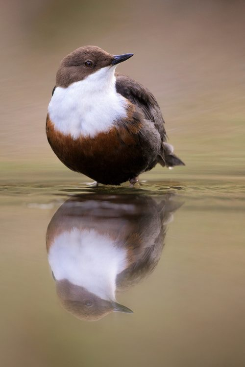 Dipper Reflection – Peak District Wildlife Photography