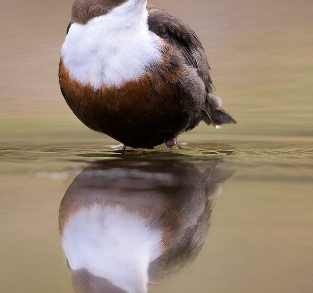 Derbyshire Dipper - Dipper Reflection - Peak District Wildlife Photography