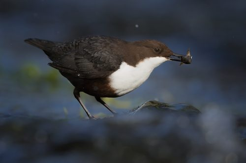 Fishing Dipper – Peak District Wildlife Photography