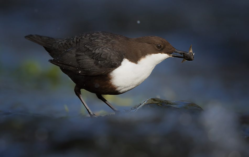 Derbyshire Dipper - Dipper with Bullhead fish