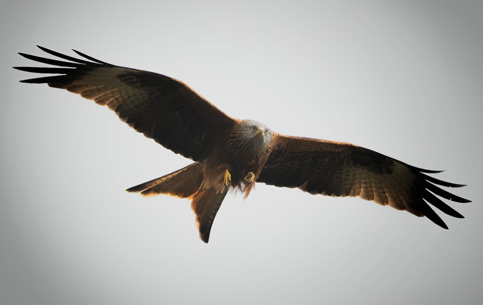 Red Kite - Yorkshire