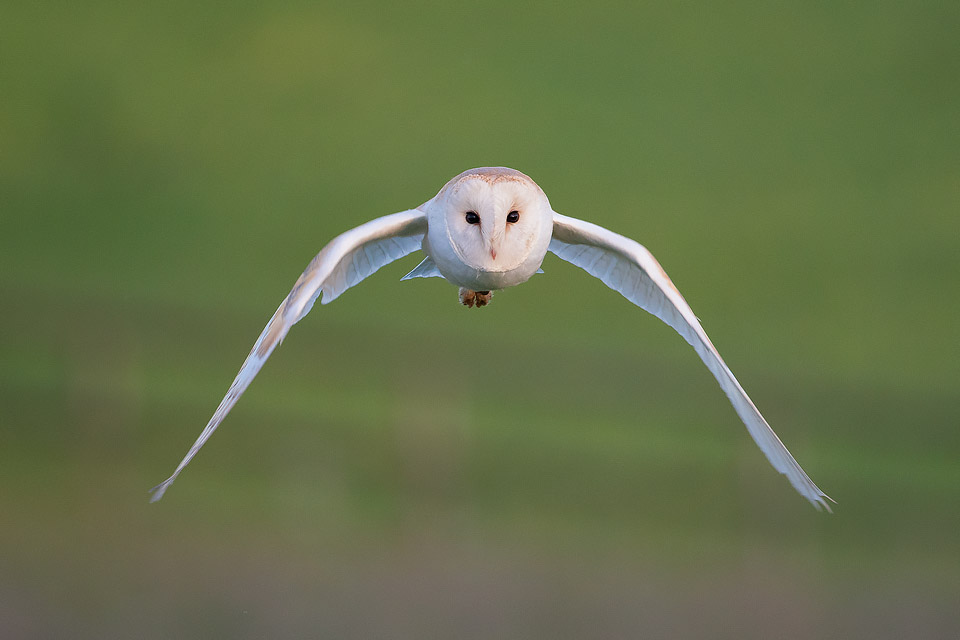 Owl Photography Workshop - Barn Owl stare