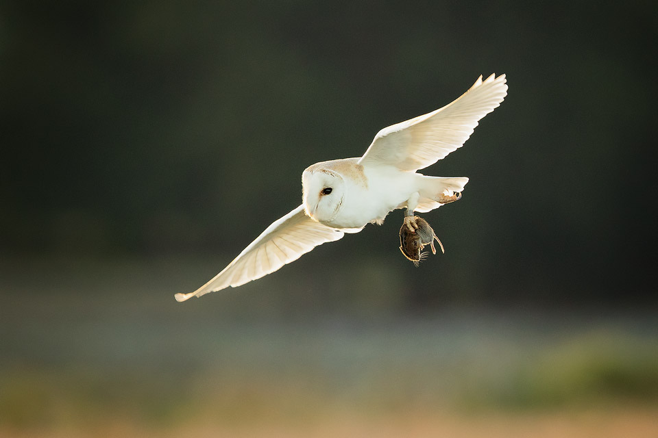 Owl Photography Workshop - Barn Owl With Vole