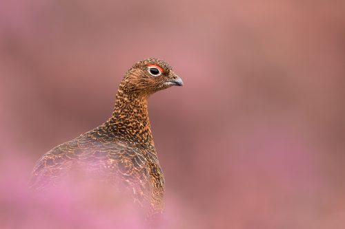 Derwent Edge Red Grouse In The Heather