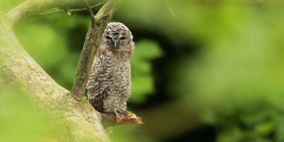 Owl Photography Workshop - Tawny Owlet