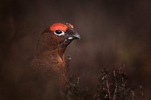 Red Grouse Camouflage