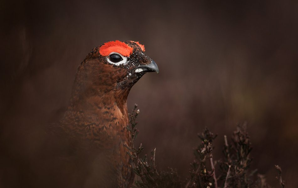 Red Grouse Camouflage - Peak District Wildlife Photography